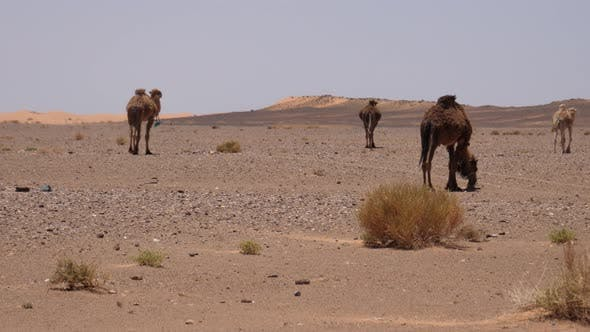 Thumbnail for Herd dromedary camels walking away