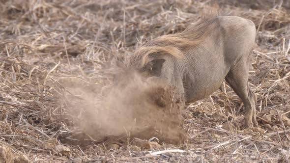Thumbnail for Warthog looking for food at Diawling National Park