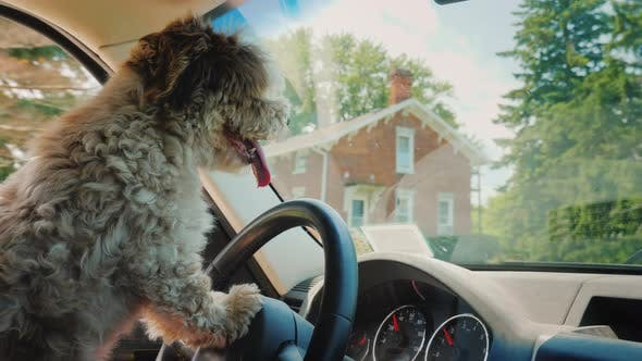 Thumbnail for A Focused Dog Driver Driving a Car Drives Through the US Suburbs