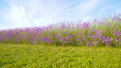 Purple Lavender Blooms Among Green Nature