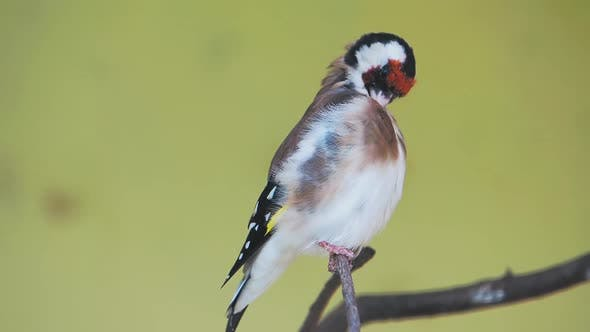 Thumbnail for European Goldfinch or Goldfinch, Carduelis Carduelis. Small Passerine Bird.