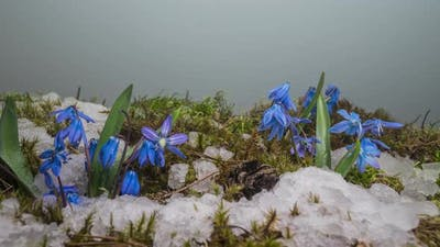 Blue Snowdrop and Snow Melts in Spring