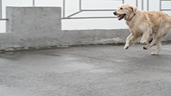 Thumbnail for Excited Labrador Retriever Dog Running