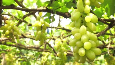 Close up of grapes in vineyard
