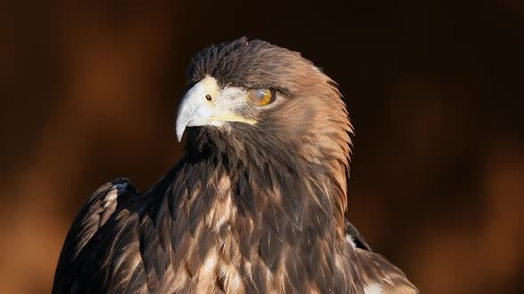 Thumbnail for Golden Eagle up close in the sunlight