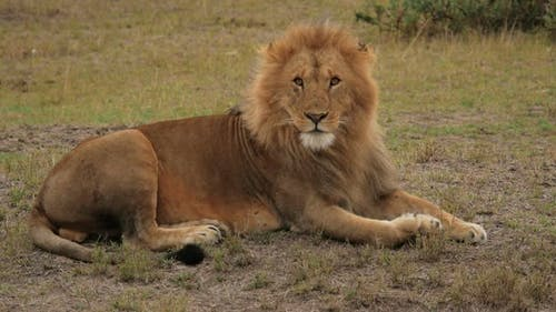 African lion lying on the ground