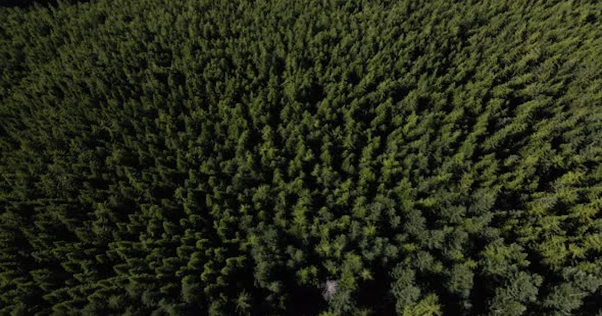 Drone Top View Of Evergreen Trees In Mountain Forest Background