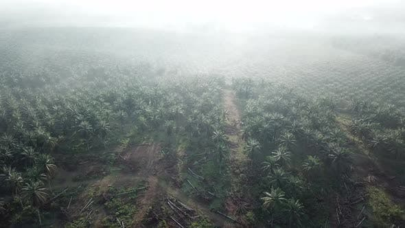 Fly over dead oil palm at plantation in morning with mist