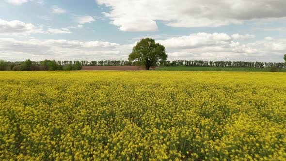 Thumbnail for Drone View of Yellow Rape Seed Fields