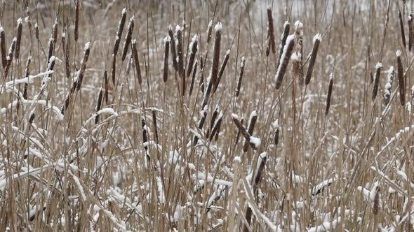 Thumbnail for Shore Cattail In Falling Snow II