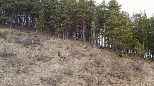 Male Wild Deer on the Mountainside