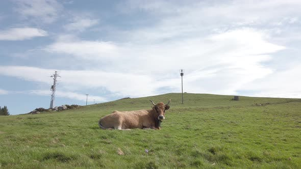 Thumbnail for Cow lying On A Mountain Field. Basque Country, Spain