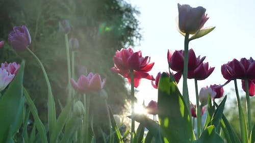 Pink and Purple Double Tulips on Long Stems with Leaves