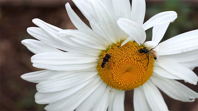 Thumbnail for Insects on the big chamomile