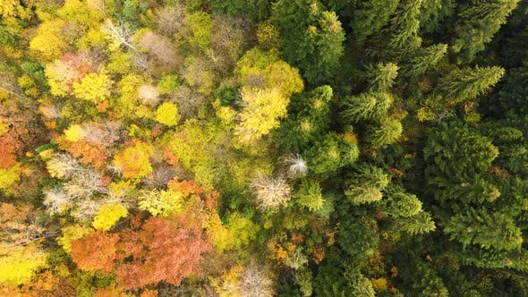 Aerial view of dense green pine forest with canopies of spruce trees and colorful lush foliage