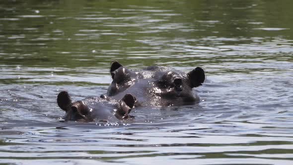 Thumbnail for Two Hippos in a lake