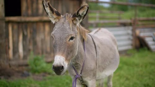 Portait Donkey Shaking Head and Ears To Drive Away Insects on Rural Farm. Gray Donkey Swinging Ears