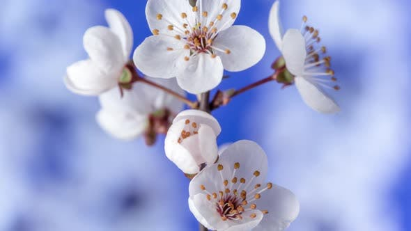 Thumbnail for Wild Plum Blossom Timelapse on Blue 2