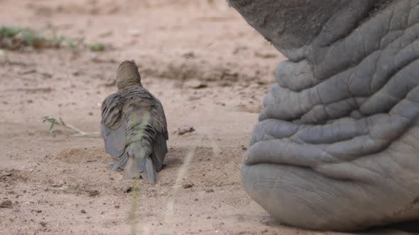 Thumbnail for Yellow-billed oxpecker preening his feathers next to a Rhino