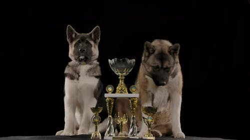 Two American Akitas Proudly Sit By Their Prize Cups, Which They Won at the Exhibition. Animals in