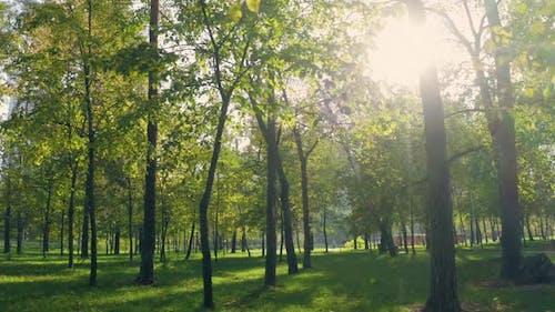 Grüner Wald Sonne Magische Strahlen Blattblätter Branch Park