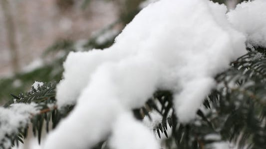 Thumbnail for Pine Tree With Snow 01