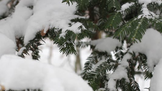 Thumbnail for Pine Tree With Snow 02