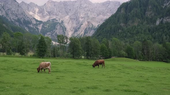 Two Cows are Pasturing on Alpine Meadows Near Mountains
