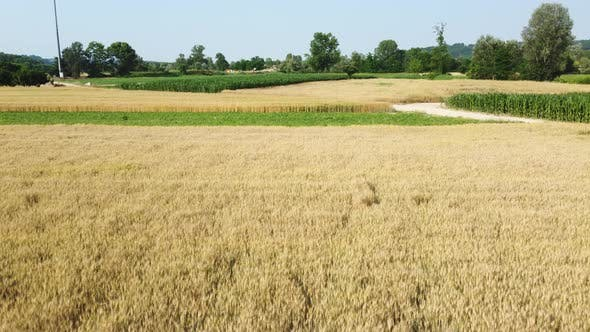 Wheat and Corn Mixed Cereal Agriculture Cultivation Fields
