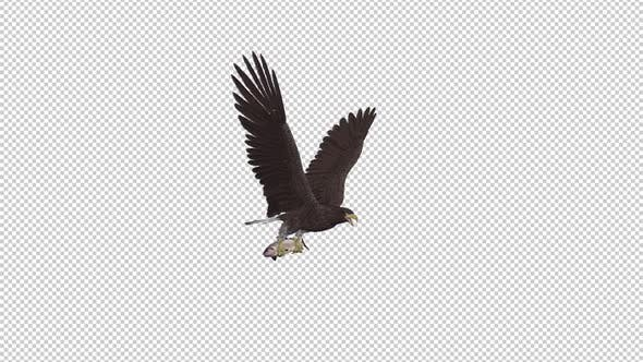 Eurasian White Tail Eagle With Fish - Flying Loop - Side Angle