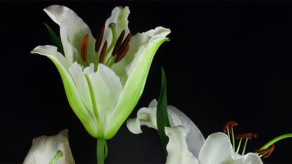 Thumbnail for White Lily