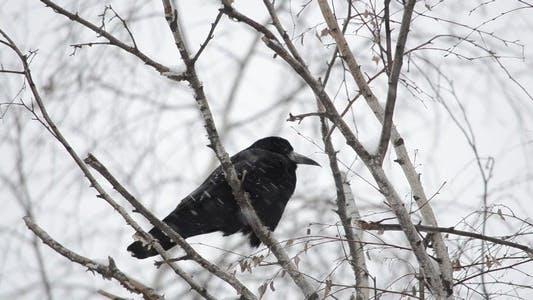 Thumbnail for Raven 4