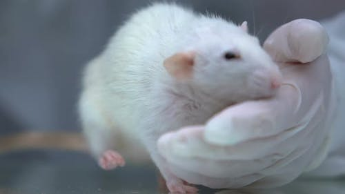 Veterinary Examining White Rat in Clinic, Domestic Animals Healthcare, Pets