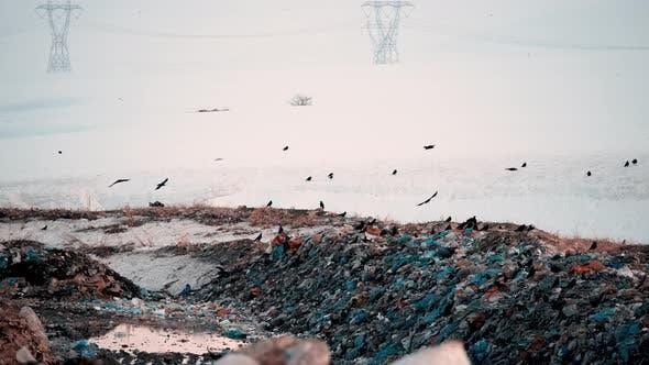Crows Searching Food at Garbage Dump