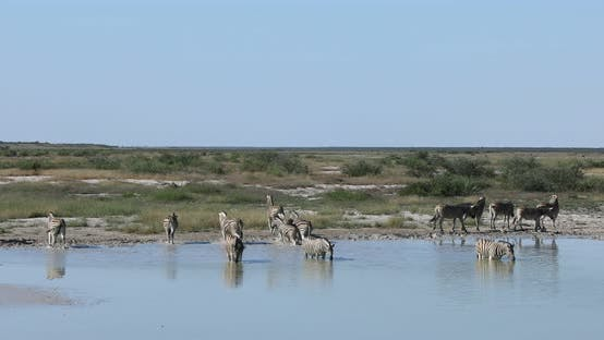 Thumbnail for Zebra in Etosha Namibia wildlife safari