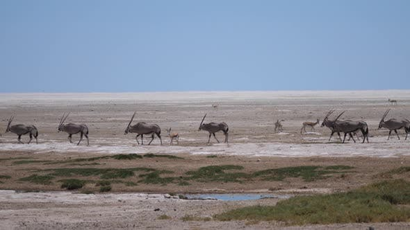 Cover Image for Herd of Gemsbok passing by on a dry savanna