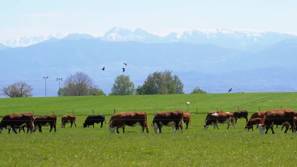 Thumbnail for Herd of Cows Grazing in a Meadow Near the Farm on Backdrop of Swiss Alps