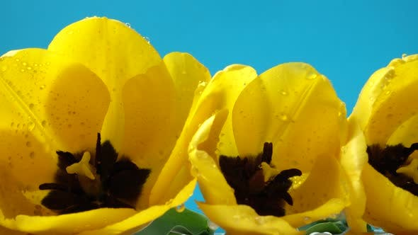 Thumbnail for Shooting of Tulips