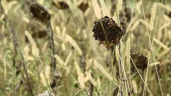 Thumbnail for Brown and Dried Sunflowers on the Field