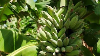 Close Up View of Bunch of Banana Green bananasA Banana Tree in the Sunny Day