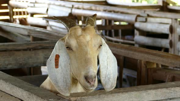 Goat looking out of his box at a farm in the Philippines
