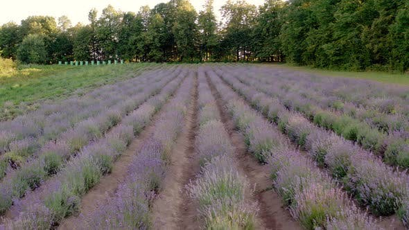 Thumbnail for Aerial Drone View Ecology Field of Lavender with No People Plantation of Lavander Flower Garden
