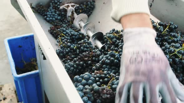 Thumbnail for Processing of Ripe Grapes in Machine