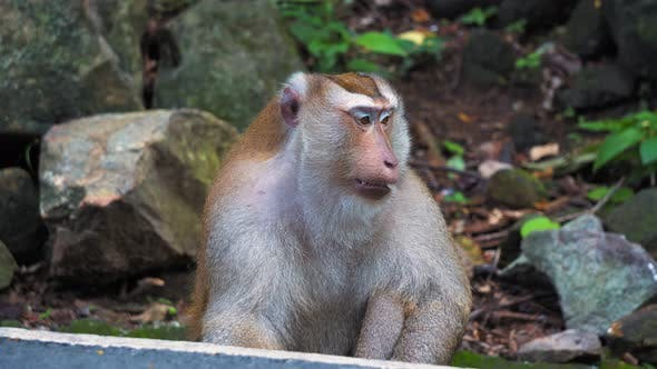 Thumbnail for Monkey in The Wild, Jungle Rainforest in Asia