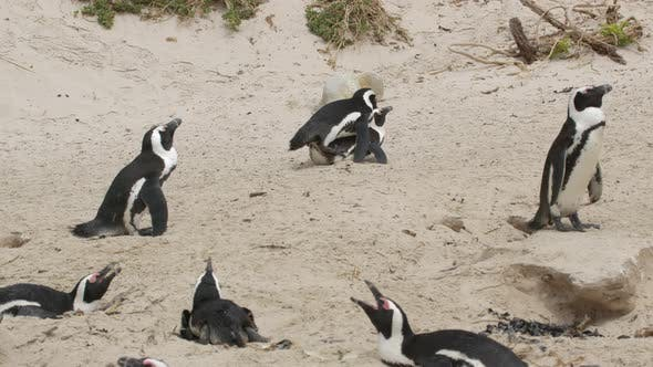 African Penguin Spheniscus Demersus Also Known As the Jackass Penguin and Blackfooted Penguin