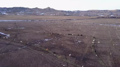 Cattle Herd Many in Spring Ranching Ranch Livestock Herd in Wyoming