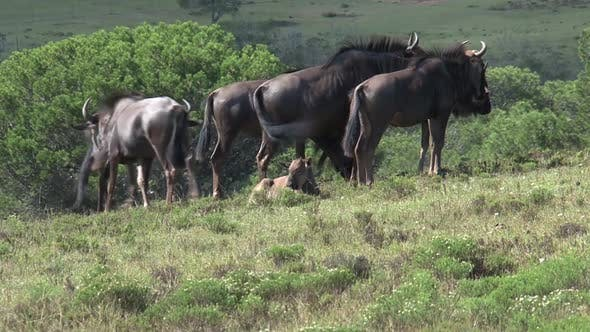 Thumbnail for Herd of wildebeests graze on the grassland