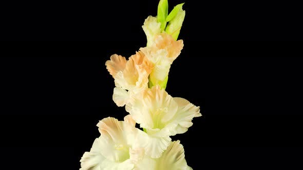 Thumbnail for Time Lapse of Opening White Gladiolus Flower