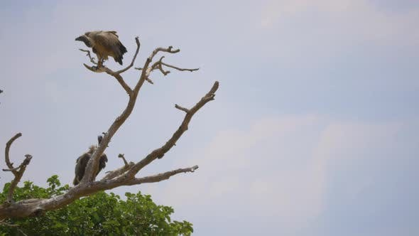 Vultures standing on branches