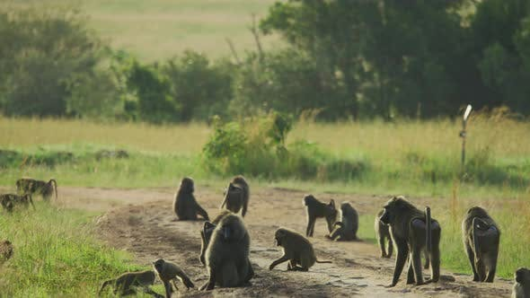 Thumbnail for Baboons in Africa